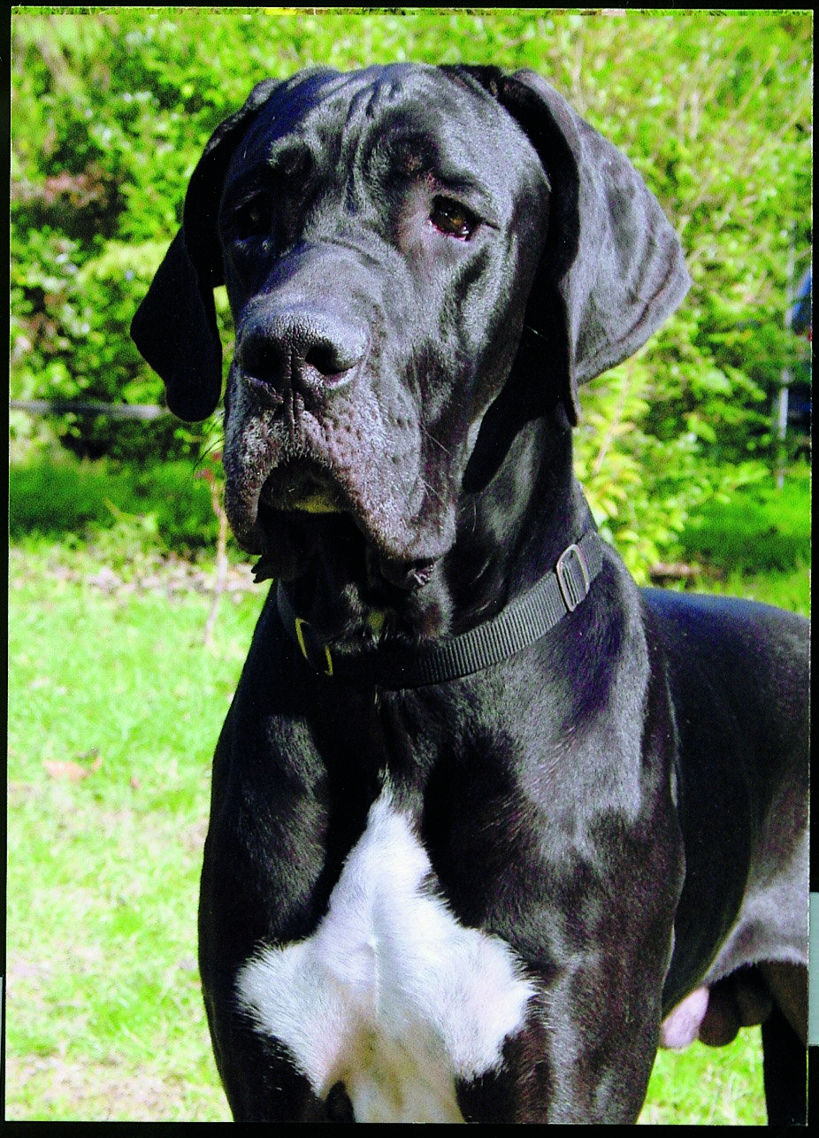 Great Dane What A Majestic Being Great Danes Great Dane