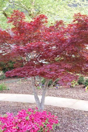 Anese Red Maple Care Facts And