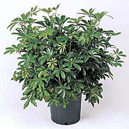 Schefflera Plants Poisonous To Dogs Flower Images Container Gardening Tips Dwarf