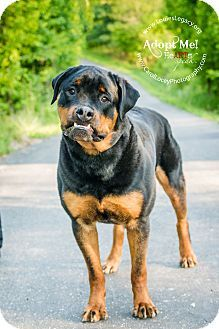 Cincinnati Oh Rottweiler Mix Meet Damien A Dog For Adoption