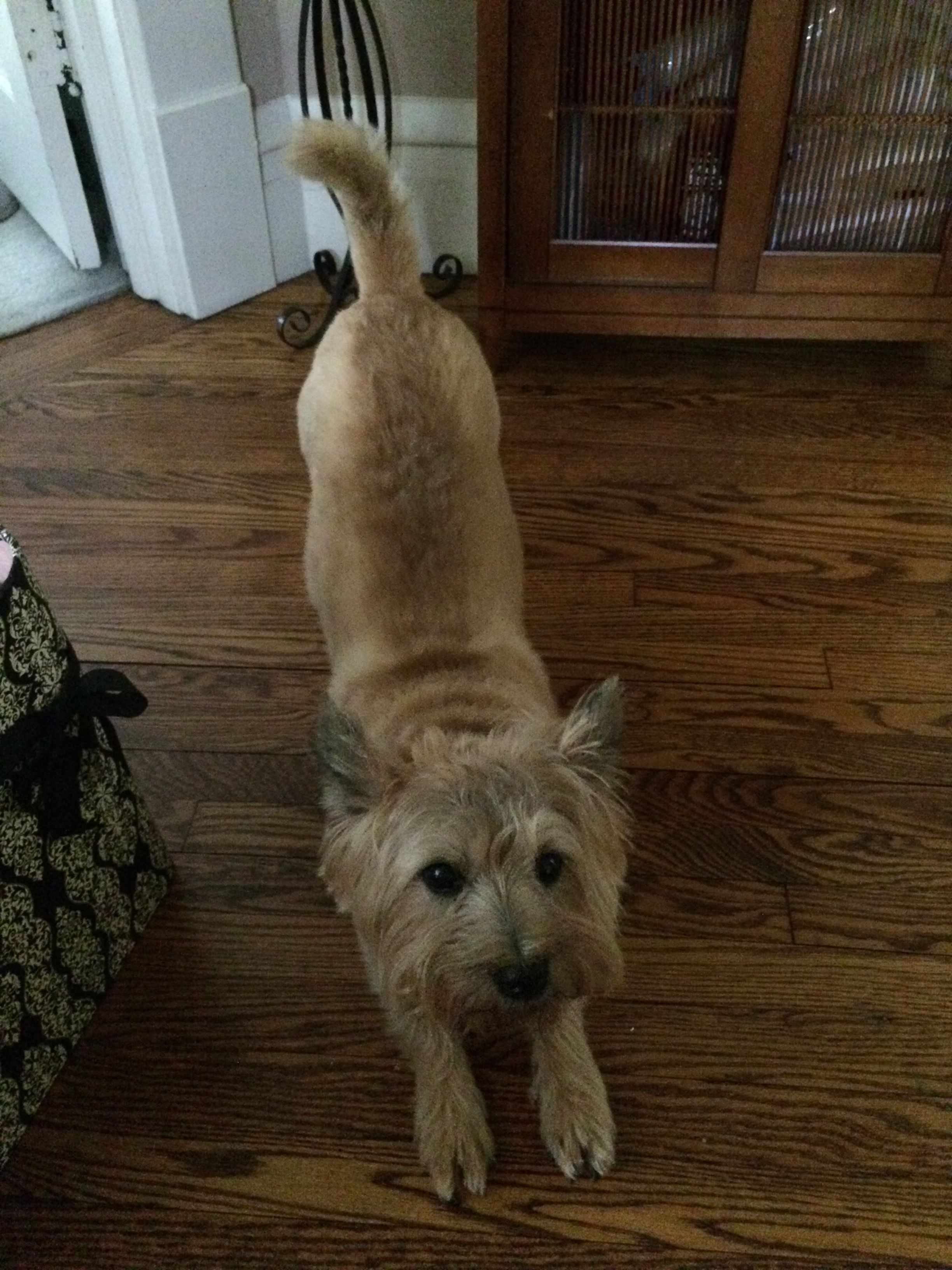 A Real Downward Dog Pipsqueak The Wheaten Cairn Terrier Cairn