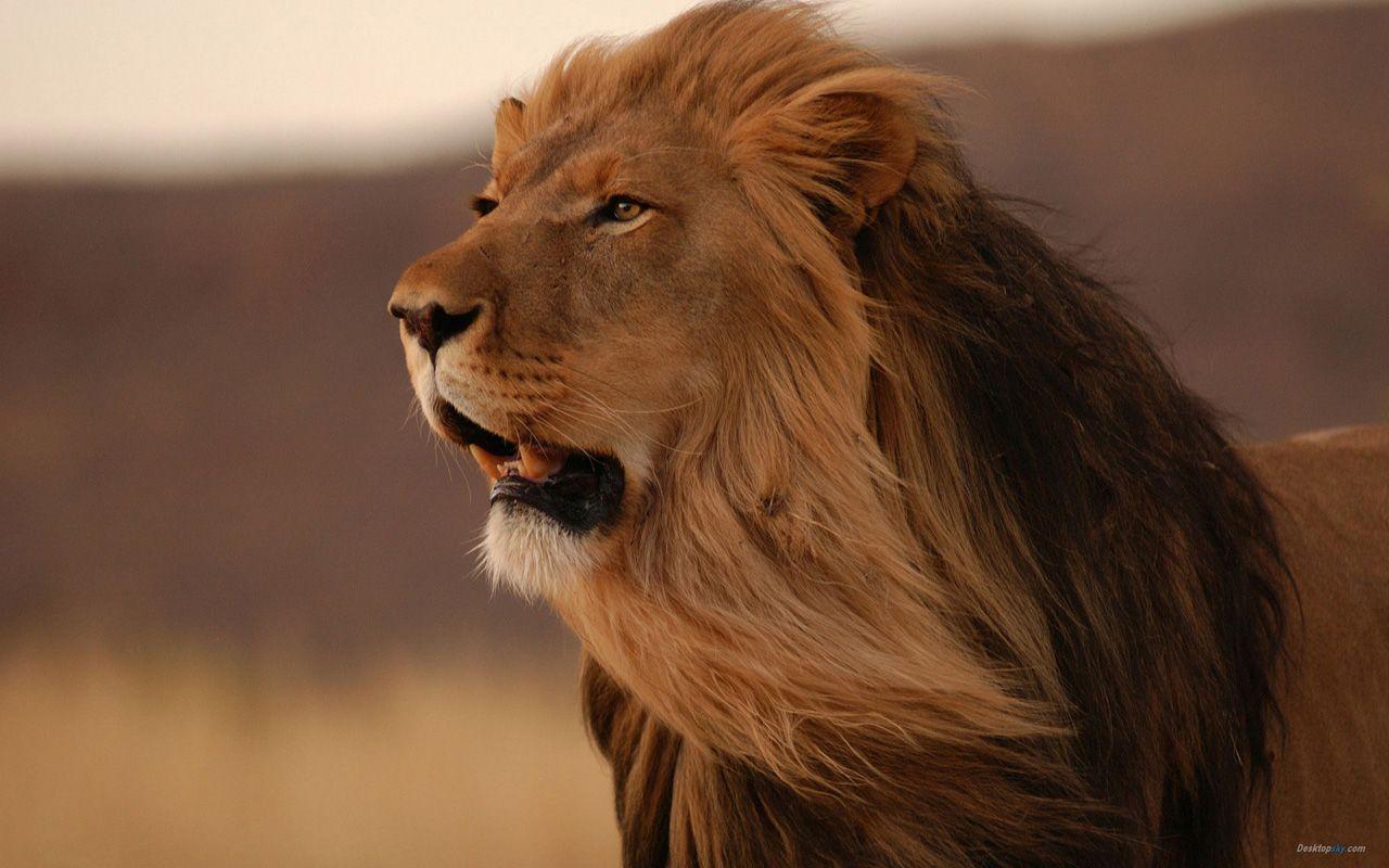 Lion HD desktop wallpaper Widescreen High Definition