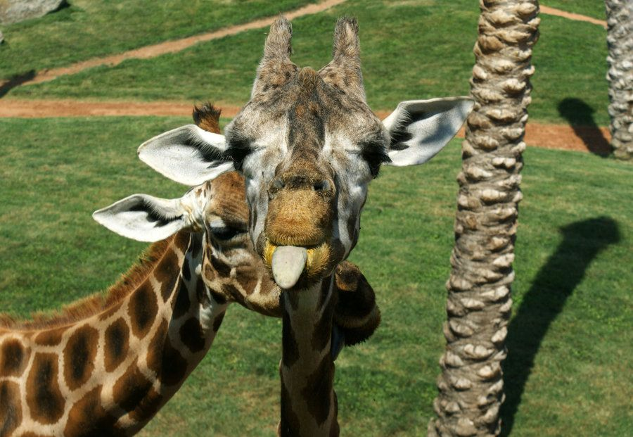 Giraffe by DSPHolthaus.deviantart.com