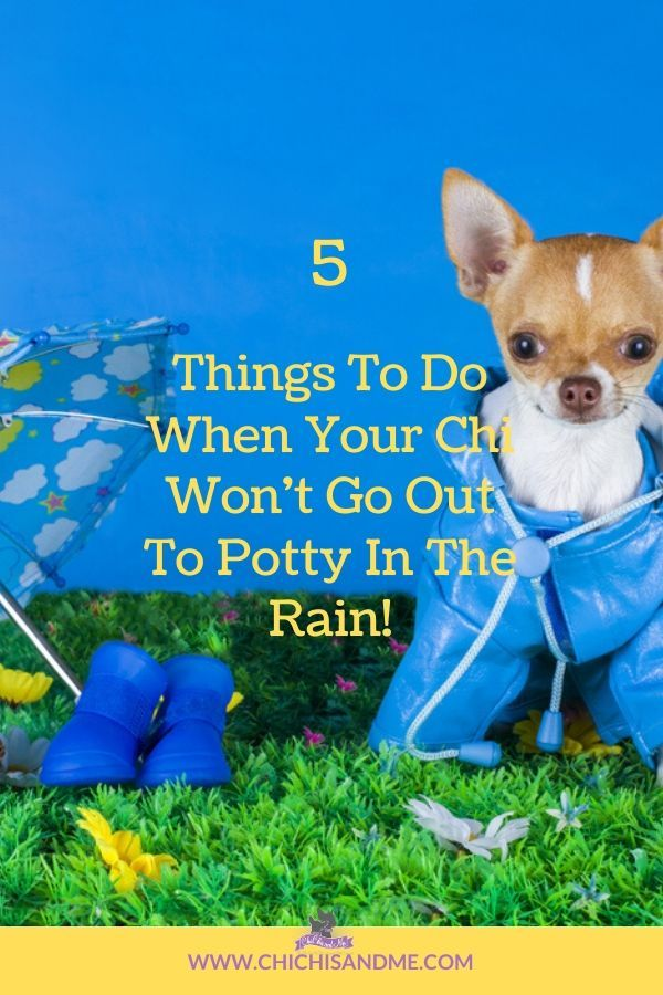 What To Do When Your Chi Won T Go Potty Outside In 2020 Chihuahua Facts Chihuahua Potty
