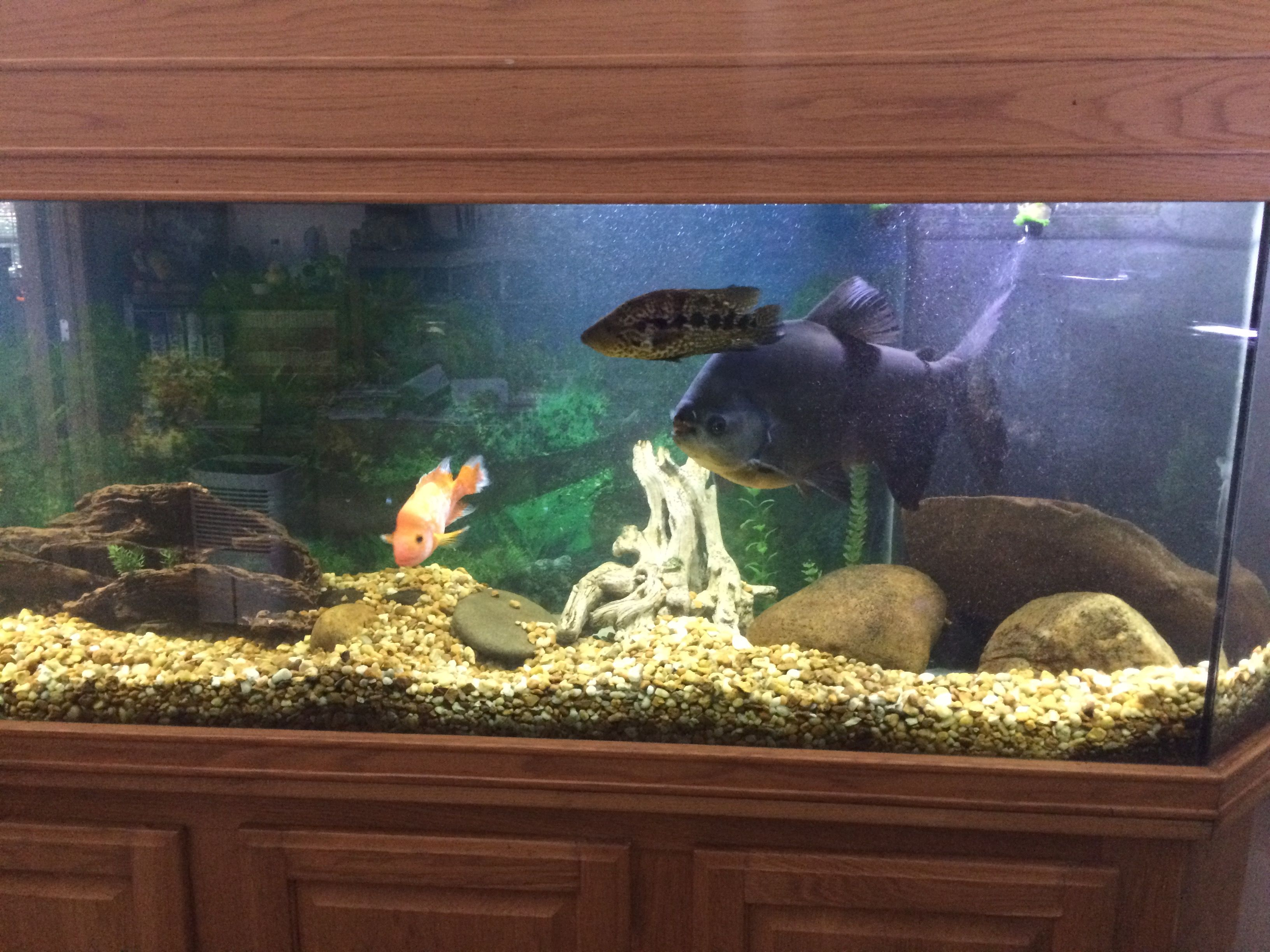Pin by Robert Burton on Oliver my Huge Pacu Fish | Pacu fish