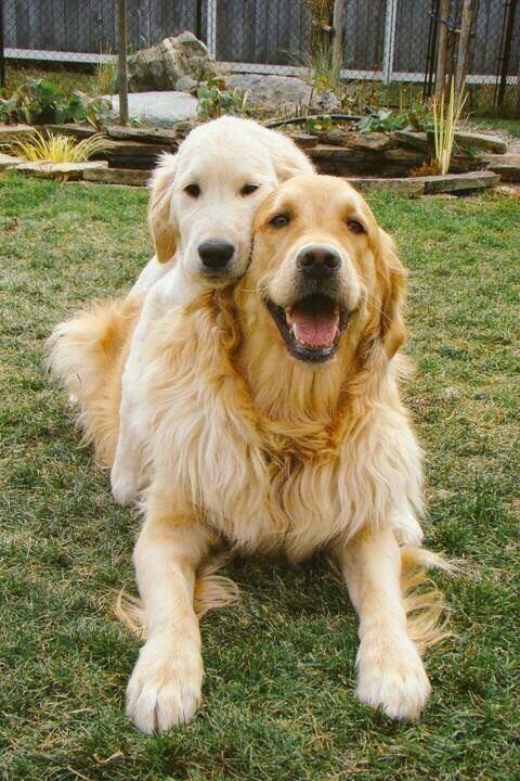 Pal S 4 Ever With Images Golden Retriever Dogs