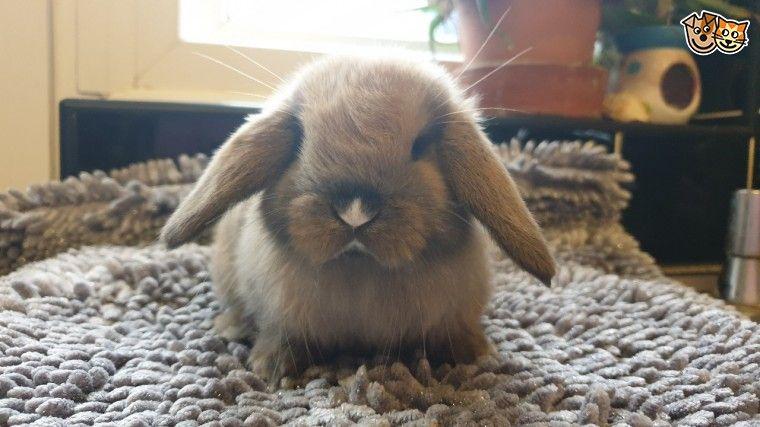 Mini Lop Baby Girl In 2020 Mini Lop Pet Rabbit Pet Advice
