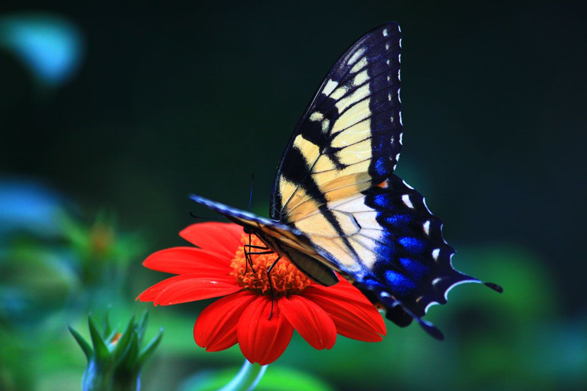 Butterflies are symbols of transformation because of their butterflies are symbols of transformation because of their impressive process of metamorphosis and other meanings and biocorpaavc Gallery