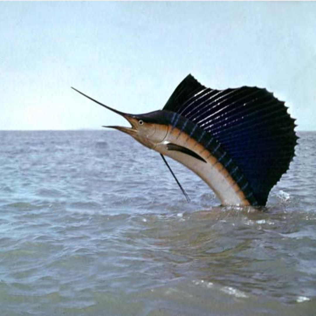 Got this sweet shot of a sailfish jumping the other day for Professional bass fishing