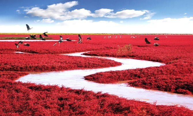 The Red Beach is located in the Liaohe River Delta, about 30 kilometer southwest of Panjin City in China.