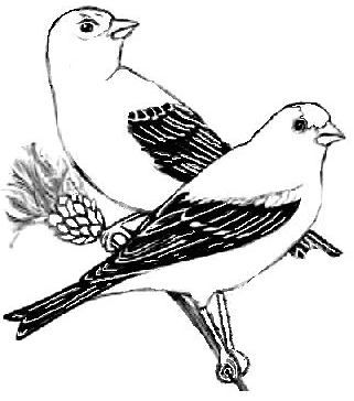 Eastern Goldfinch Coloring Page Color Sketches