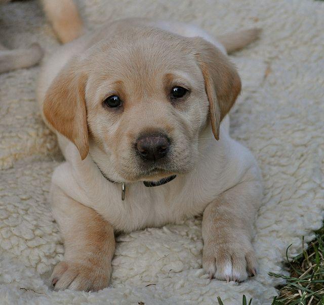 Dsc 0200 Labrador Lab Puppies Funny Dogs