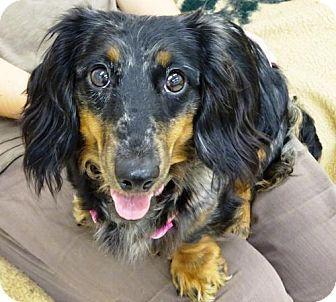 Belleville Mi Dachshund Mix Meet Daphne A Dog For Adoption
