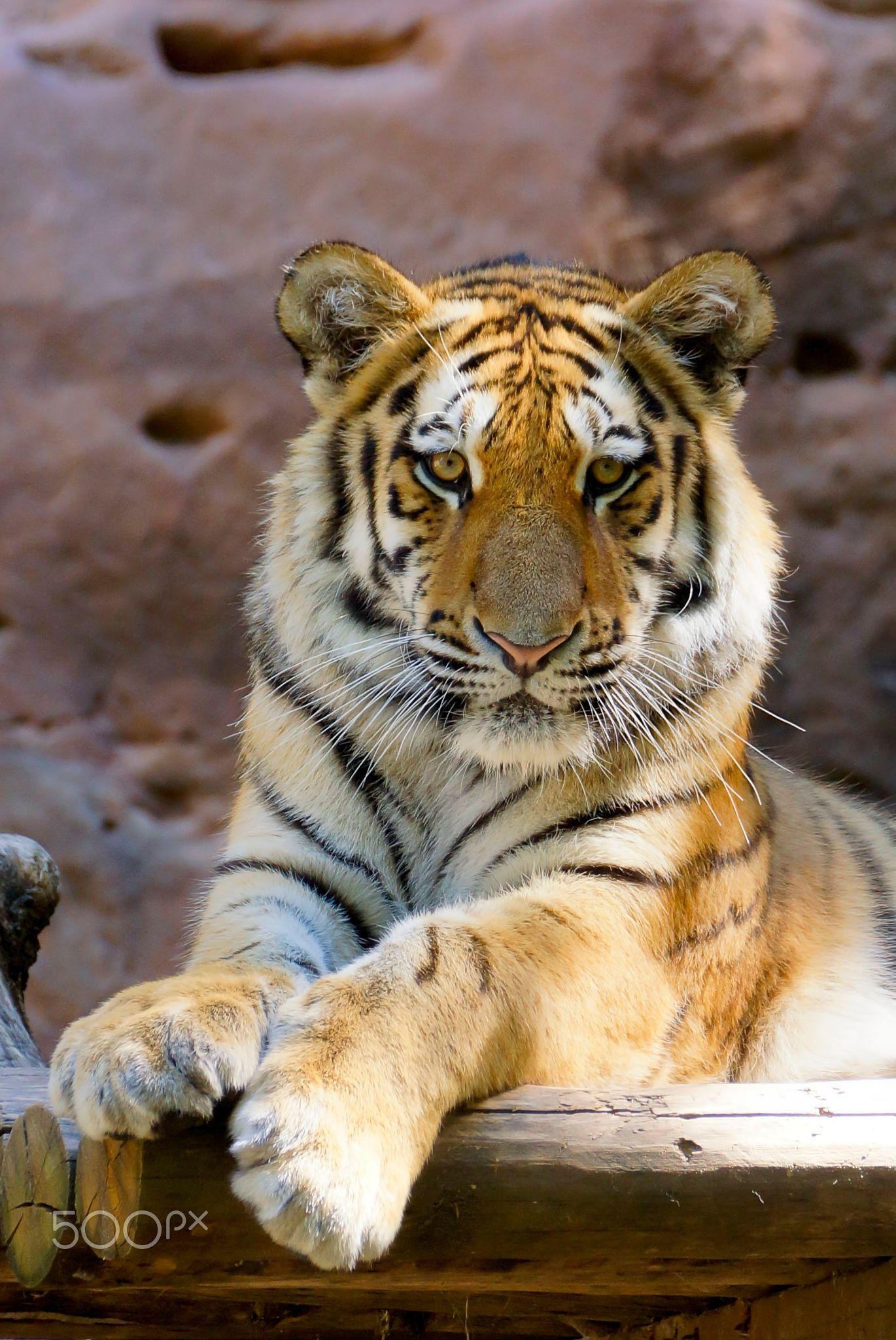 TIGER .....Aljoscha, 13 months old.....
