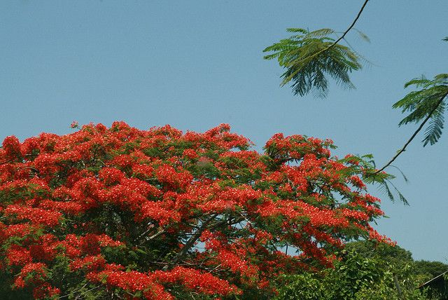 Flamboyan De Puerto Rico | Recent Photos The Commons Getty Collection Galleries World Map App ...