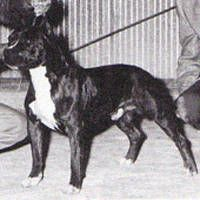 Staffordshire Terrier Club of America National Specialty Winner - Ch. Gallant Kimbo - 1962