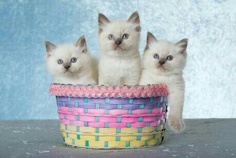 Image result for easter ragdoll cat easter basket