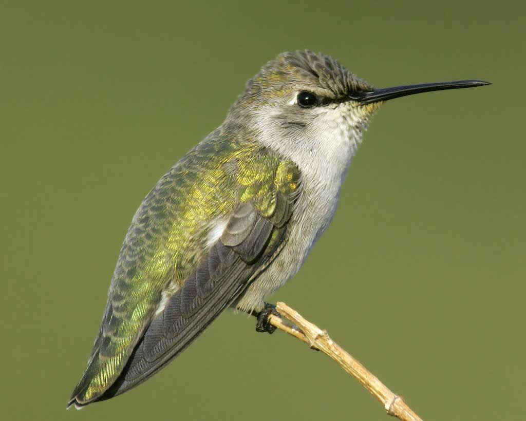 コスタハチドリ Costa S Hummingbird Calypte Costae Female Aves Colibri