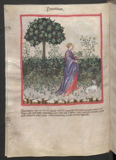 Cod. Ser. n. 2644, fol. 34v: Tacuinum sanitatis: Petrosillum