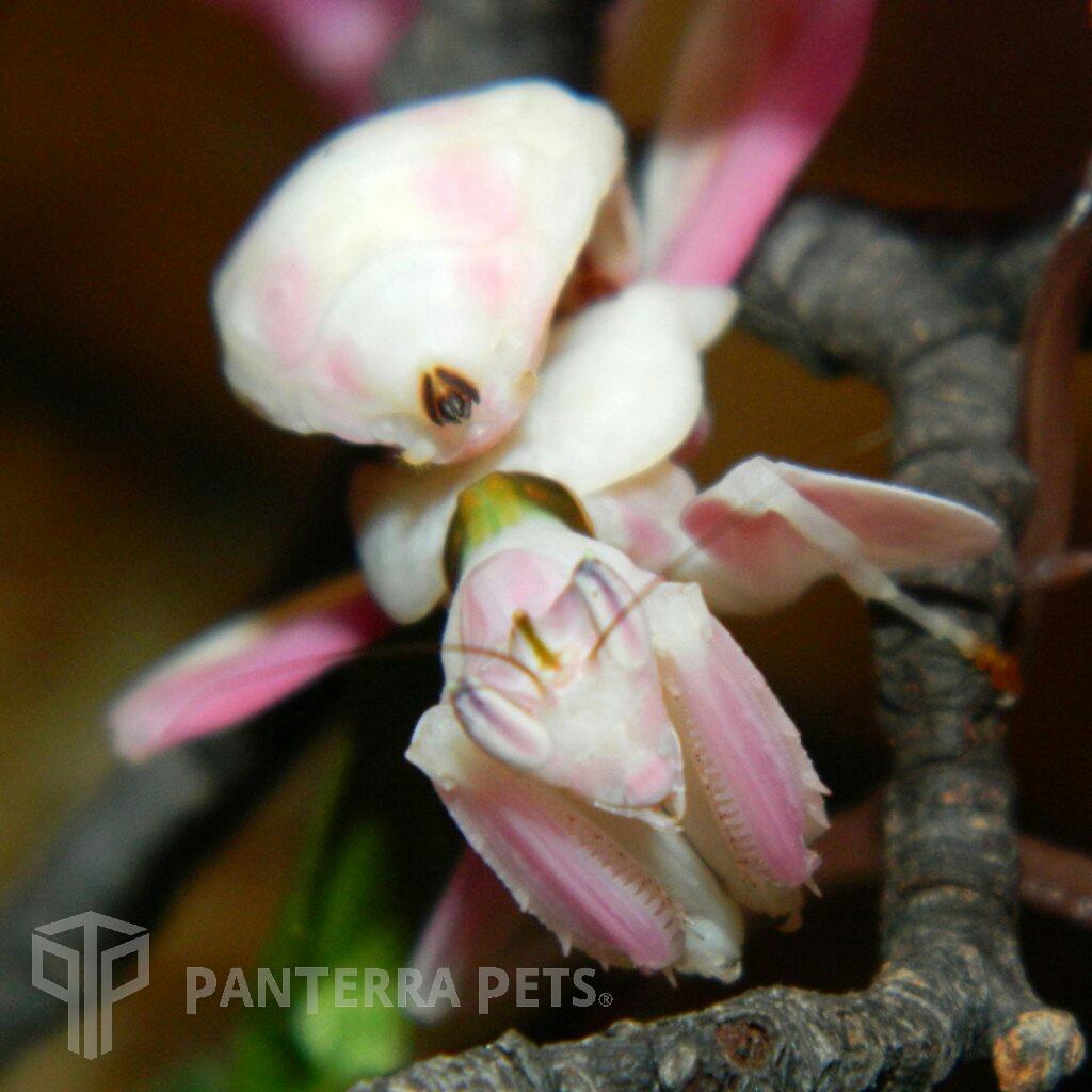 Orchid Mantis H Coronatus Orchid Mantis Orchids Buy Orchids