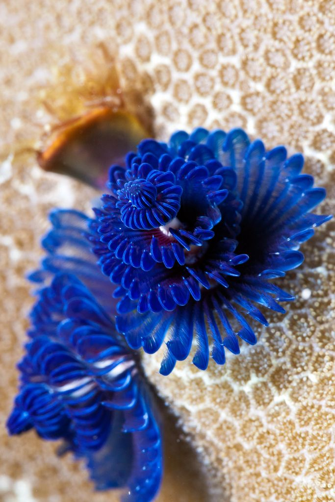 Christmas Tree Worms CHRISTMAS TREE WORMS Pinterest Worms, Sea