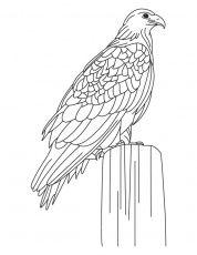 Largest Golden Eagle Coloring Page Download Free Largest Golden