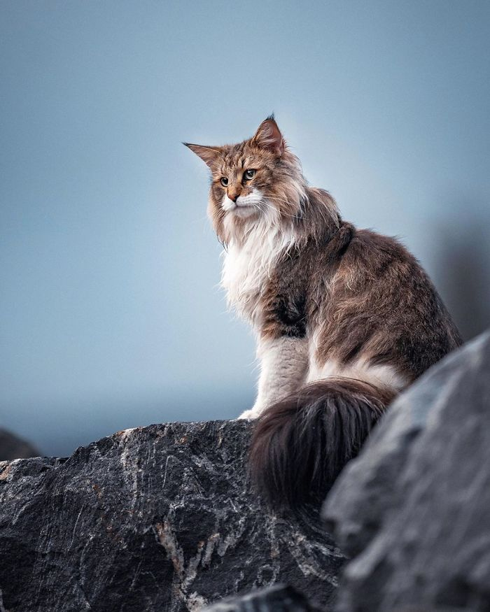 Owners Let Their Norwegian Forest Cat Roam Freely Outside And He Looks Majestic 32 Pics V 2020 G