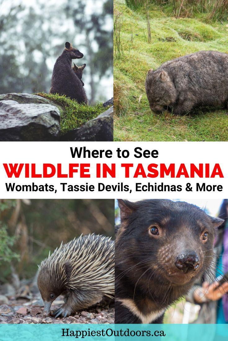 Best Places To See Wildlife In Tasmania Happiest Outdoors Wildlife Travel New Zealand Travel Wildlife