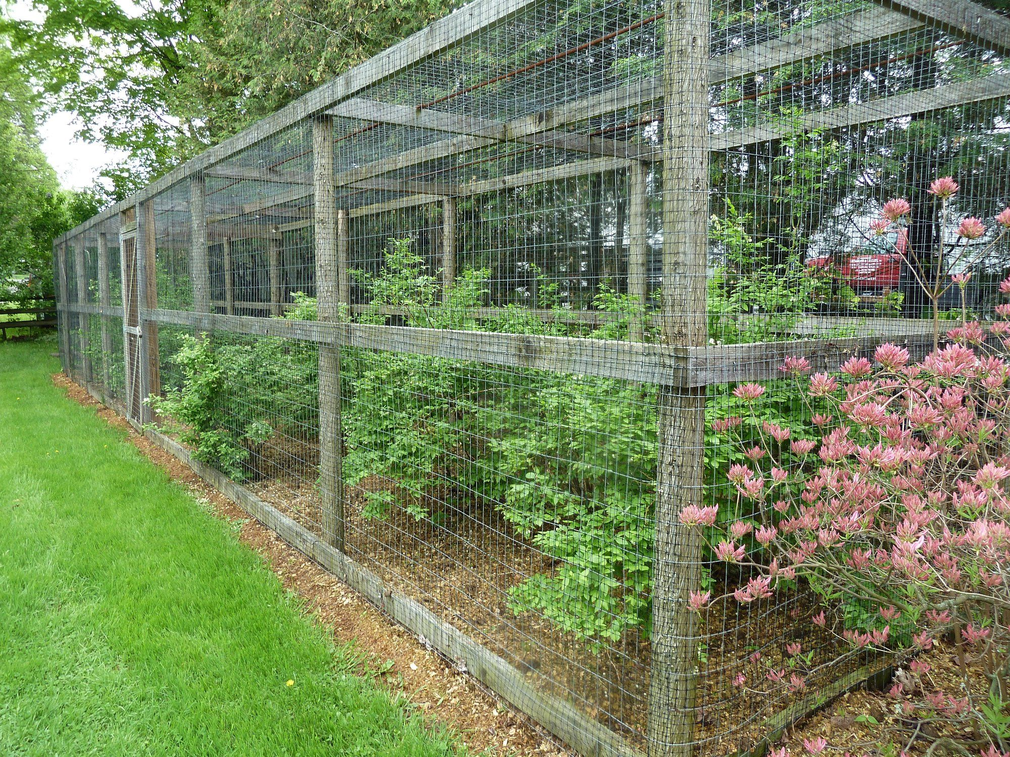 cage around his blueberry bushes to thwart the birds