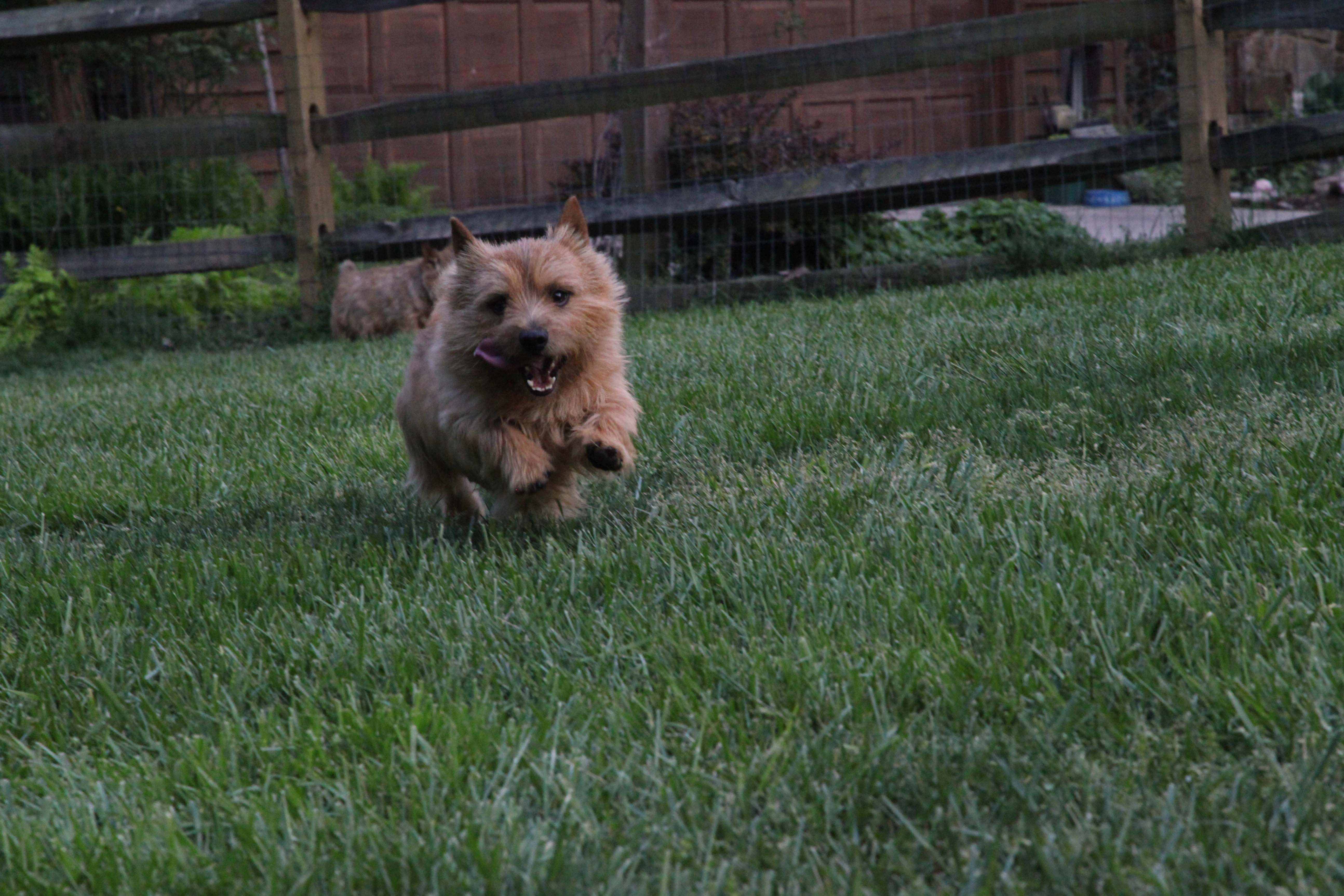 Norwich Terrier running. photo by GNLIns photography ...