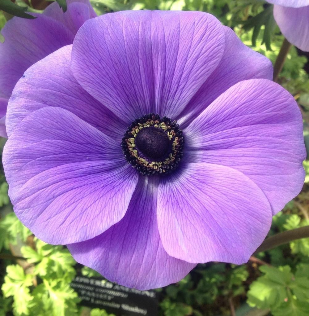 Anemones Plant Care And Collection Of Varieties Garden Org List Of Flowers Anemone Beautiful Flowers