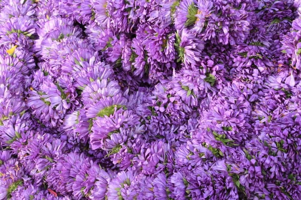 32 Different Types Of Aster Flowers For Your Garden In 2020 Aster Flower Flowers Aster