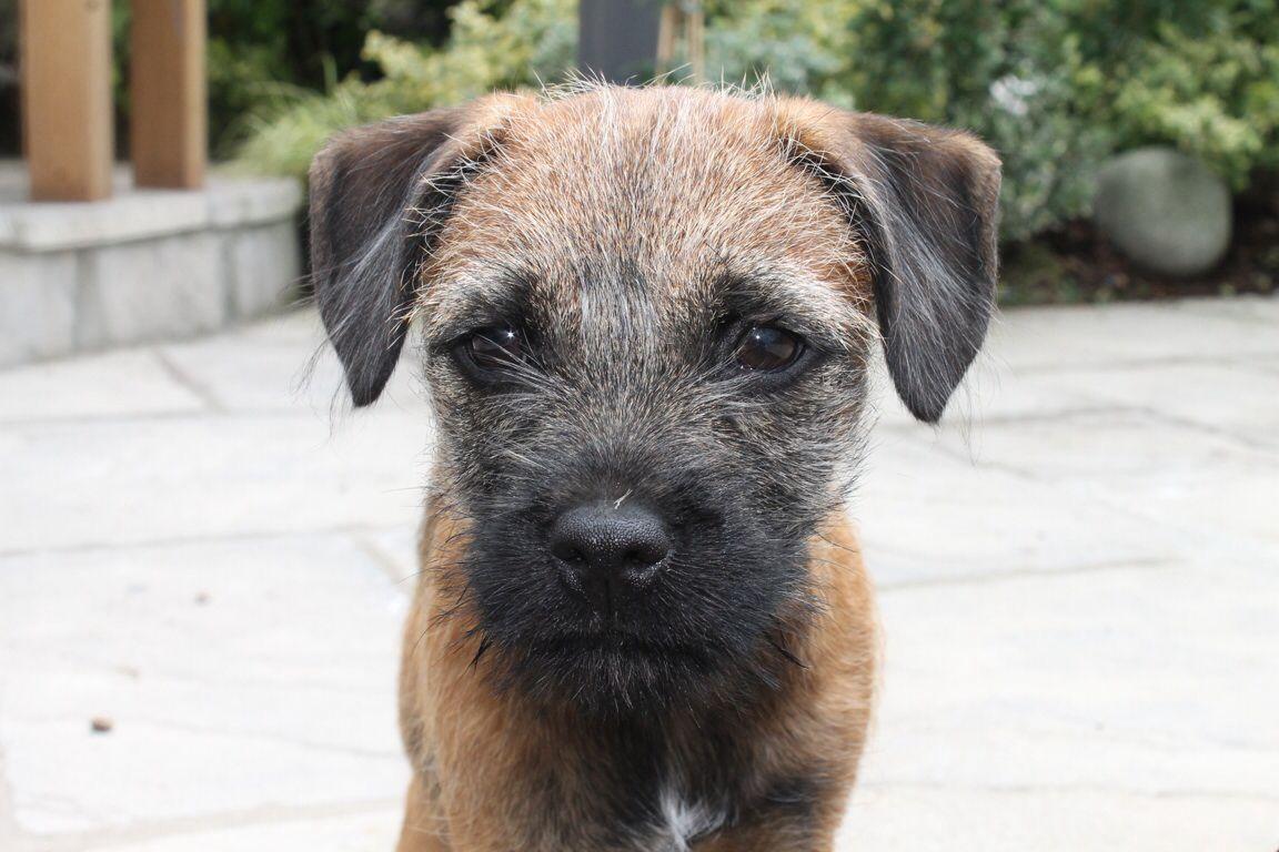 Little Oscar The Border Terrier Border Terrier Puppy Cute