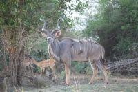 Kudu - Lower Zambezi