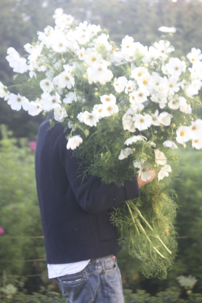 armful of white cosmos
