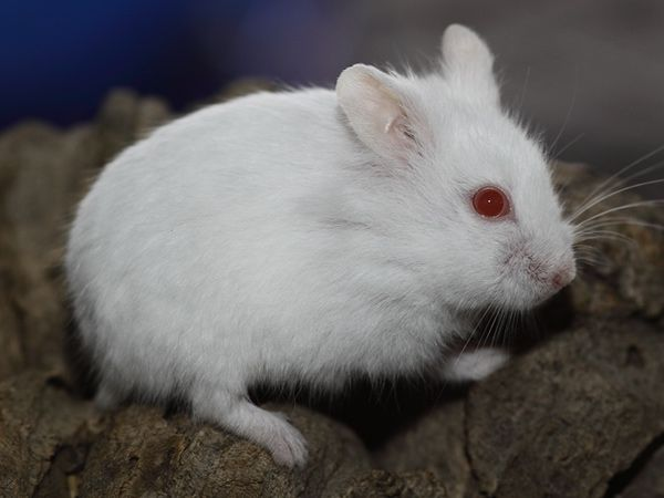 Russian Dwarf Hamster/Campbell Hamster Colors Hámsters