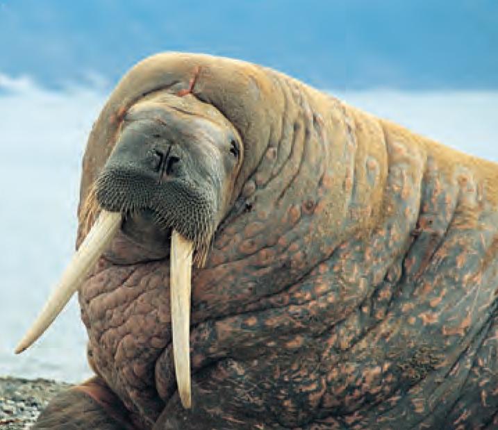 Pin by Vinnie Marro on Animals Arctic animals, Animal