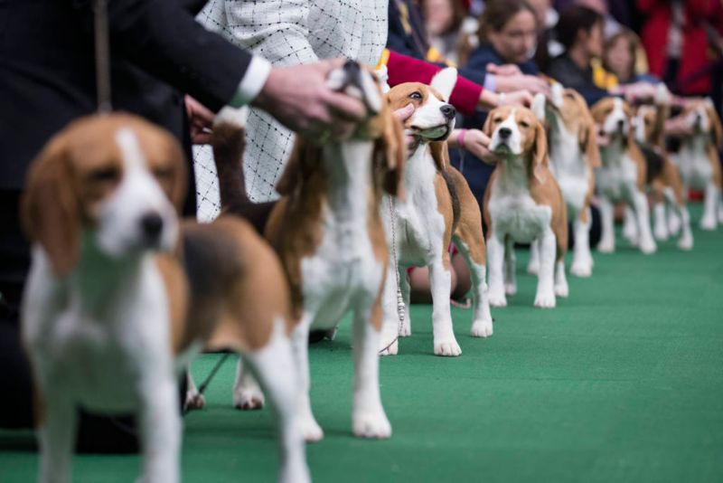 Beagles Line Up In The Competition Ring During The Westminster