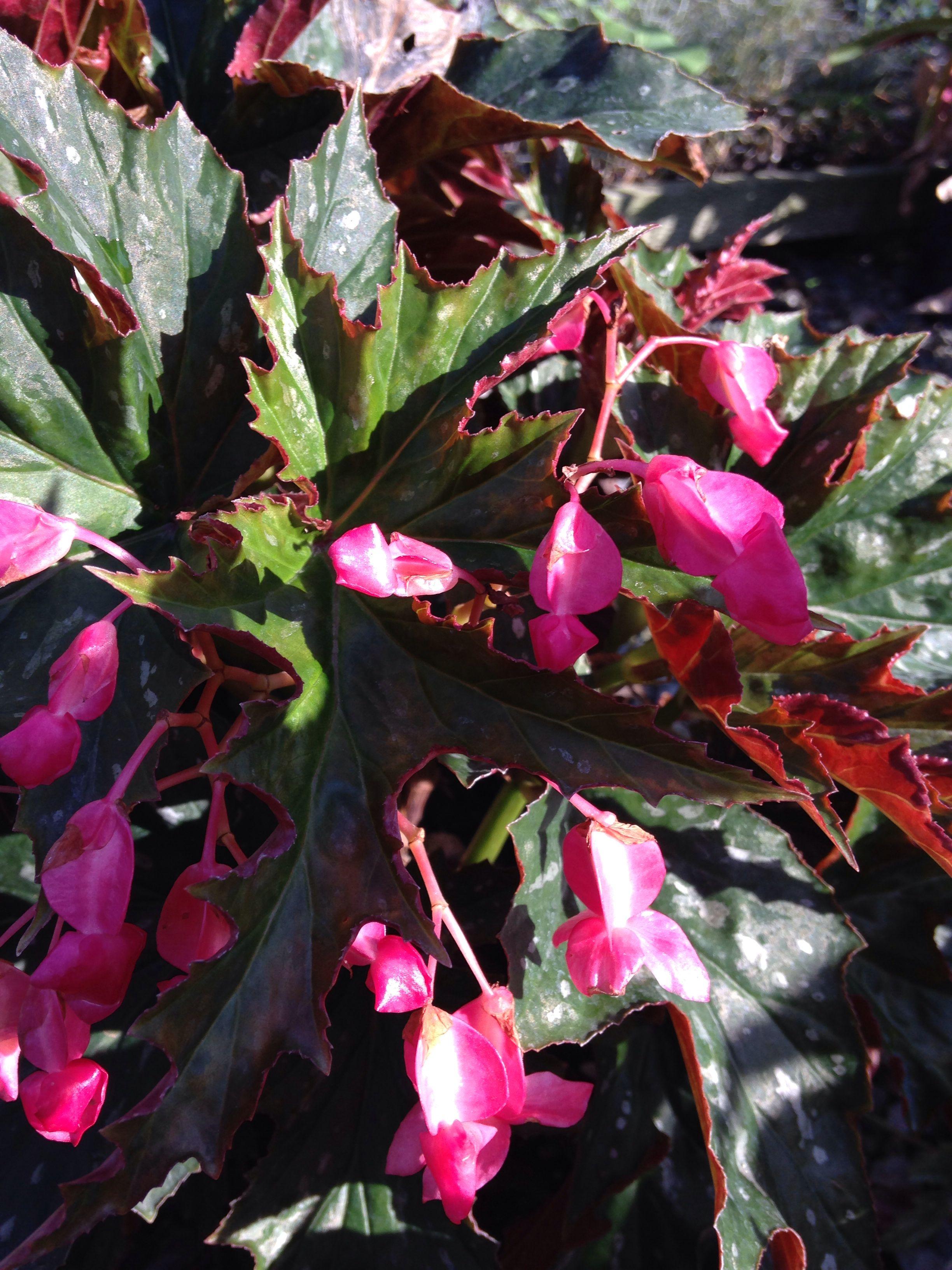 Begonia Sophie Cecile Lt Pink Flowers Filtered Sun Begonia Pink Flowers Flowers