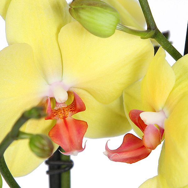 Luxury Yellow Orchid Planter Flower Delivery Gift Service Uk Orchid Planters Yellow Orchid Flower Planters