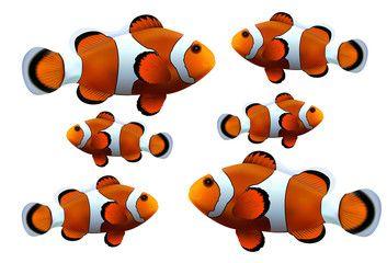 Clown fish on white background