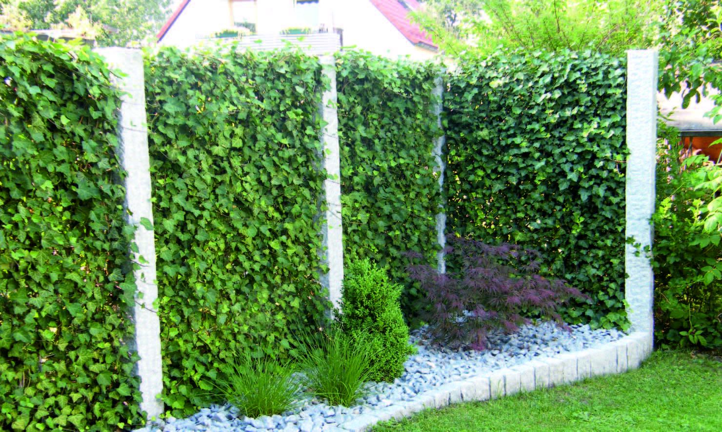 Die Efeuhecke ist seit Jahren der beliebteste und meistgepflanzte