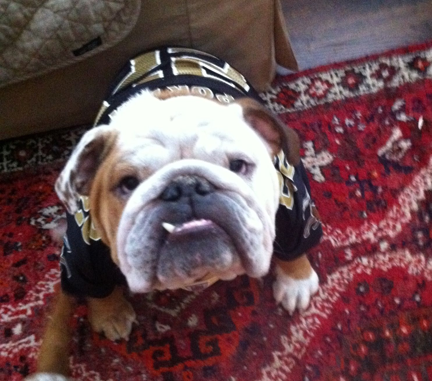New Orleans Saints Who Dat Bulldog English Bulldog Old