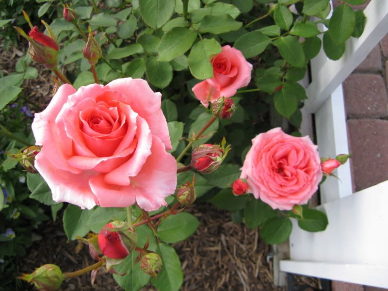 Climbing America Climbing Rose Wednesday March 30 2016 12 Tall Will Grow To 12 Tall Salmon Colored B