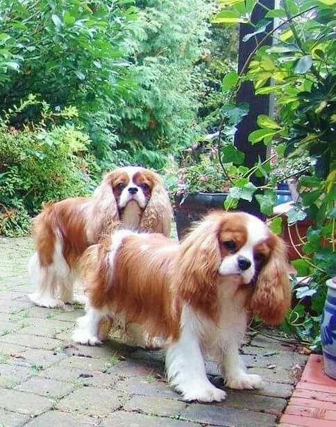 Cavalier King Charles Spaniel Dog breeds medium, Dog