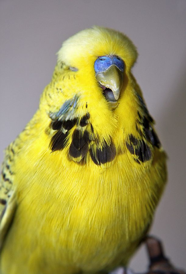 Cute Budgie HQ Quality (65  Photos)