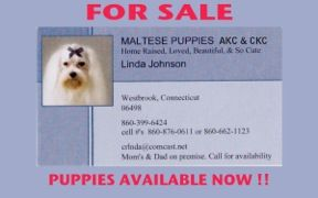 Maltese Puppies For Sale Linda Johnson Westbrook Ct Maltese
