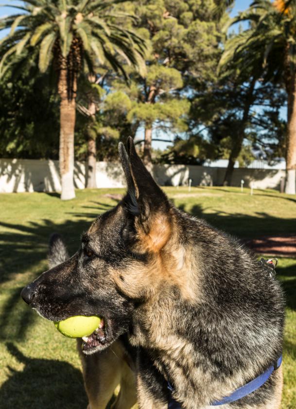 A dog with a tennis ball outside a Las Vegas home. #dogsofwsj