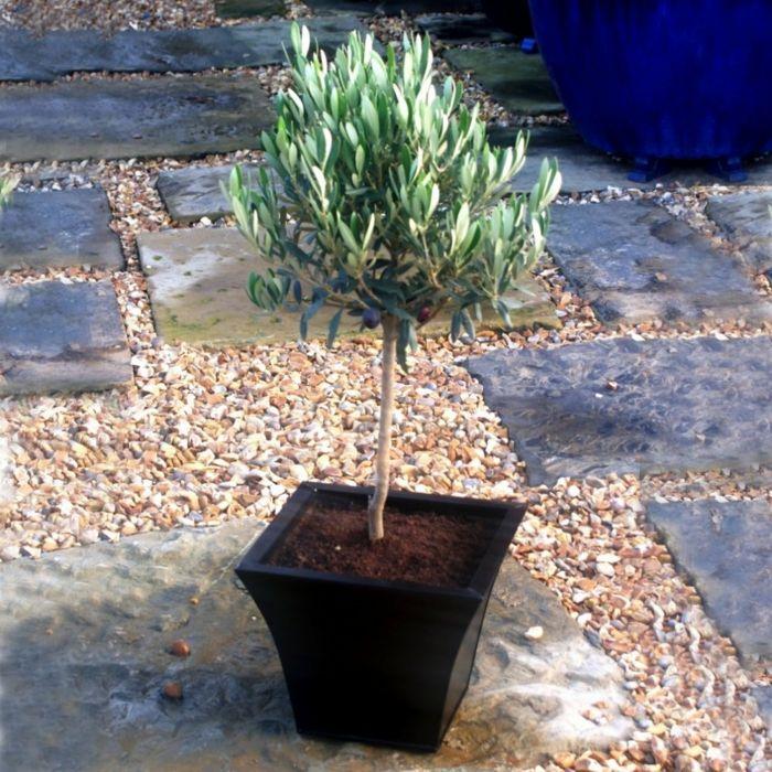 olivenbäumchen oliven pflege gartenpflanzen Blumen und Pflanzen - gartenpflanzen