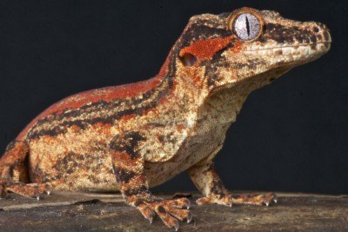 Gargoyle Geckos, cousins of the Crested. Come in a ton different ...